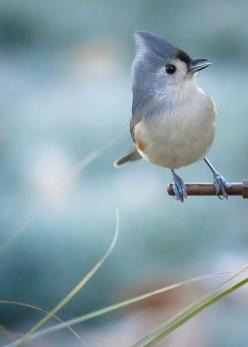 Tufted Titmouse  I just want to repin all of Tam's pins! This is her photo. What incredible talent!!!: Tufted Titmouse, Animals, Nature, Blue Jays, Beautiful Birds, Beautifulbirds