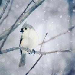 Tufted Titmouse in Snow No. 9 - fine art bird photography print by Allison Trentelman: Tufted Titmouse, Snow, Fine Art, Birds, Bird Photography