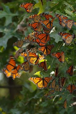 Tumblr 36 Monarchs by debbie dicarlo: Beautiful Butterflies, Monarch Butterfly, Animals, Nature, 36 Monarch, Flutterby, Monarch Butterflies, Photo