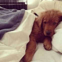 turn on the news and leave my coffee on the nightstand, thanks: Animals, Sweet, Dogs, Golden Retrievers, Bed, Pet, Puppys, Baby