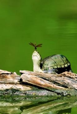Turtle with Dragonfly: Picture, Animals, Mud Turtle, Quotes, Turtles Tortoise, Nature, Dragonfly, Friend, Dragonflies