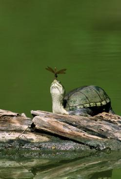 Turtle with Dragonfly: Picture, Mud Turtle, Animals, Nature, Quotes, Turtles Tortoise, Dragonfly, Friend, Dragonflies