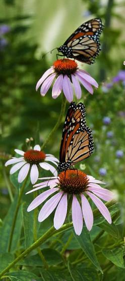 Two Monarch Butterflies Savor The Taste Of Purple Coneflowers: Monarch Butterfly, Beautiful Butterflies, Monarch Butterflies, Butterfly Print