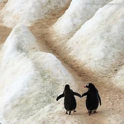 """Two Penguins in Antarctica: """"Paula, I know the journey ahead of us is a long and arduous one...  But take my flipper and with my support; we'll make it TOGETHER."""": Hand, Penguin Love, Animals, Friends, Penguins, Things, Walk, Photo, Birds"""