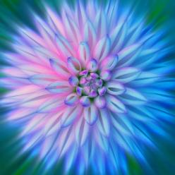 ~~Two Toned Dahlia by Stanley Zimny ~~: Nature, Color, Dahlias, Flowers Plants, Art, Beautiful Flowers, Pretty Flowers, Garden