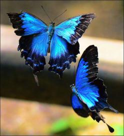 (Ulysses Butterfly) I love the colors of butterflies. if I got a butterfly tattoo I would use these exact color & details.: Beautiful Butterflies, Butterflies Dragonflies Moths, Blue Butterfly, Flutterby, Blue Mountain