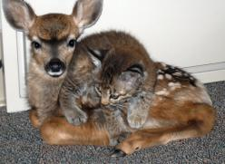 Unlikely friends...survivors of a forest fire :): Cats, Animals, Fawns, Friendship, Animal Friends, Kittens, Baby, Deer