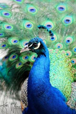 Up close and personal with a stunning peacock (photo by KerriNikolePhotography, via Flickr): Peacock Feathers, Blue Peacock, Pavo Real, Pretty Peacock, Art Peacocks, Birds, Animal