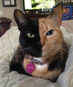 Venus, the amazing Chimera cat and no this is not photo shopped. She has Heterochromia of the eye which is eyes of 2 colors.   Her Facebook page -  https://www.facebook.com/VenusTheAmazingChimeraCat: Photos, Google, Beautiful Cats, Creature, Pets, Cats Do