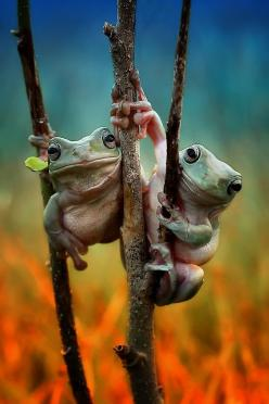(via 500px / Untitled by Yusri Harisandi): Animals, Nature, Tree Frogs, Creatures, Photo, Froggy Friends