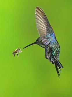 Violet-crowned Woodnymph by Dennis Goulet: Hummingbird Bee, Face, Humming Birds, Watch Hummingbirds, Humming-Bird, Flying Animals, Honey Bees, Birds Hummingbirds
