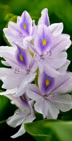 Vodní hyacint * paví oko: Water Hyacinth, Flowers Plants, Beautiful Flowers, Gardens, Bloom, Beauty, Pretty Flower, Flowers Garden, Flower