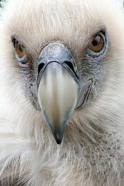 vulture >> not the image people usually have of a vulture, but this is beautiful!: Face, Animals, Eagle, Nature, Beautiful Birds, Ave, Eye