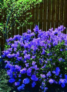 Want a plant to brighten a dull corner of your yard? This may be it! There hasn't been this much buzz about a plant in years! People have been clamouring for a re-blooming lilac for years and 'Bloomerang' delivers with a dense, compact plant w
