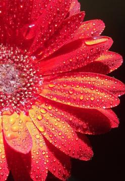 water droplets: Sparkling Droplets, Water Drops, Pretty Droplets, Gerbera Droplets Red, Dewy Moist Droplets, Water Droplets, Photo