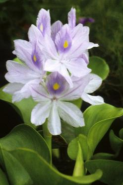 Water Hyacinth: Hyacinth Flower, Water, Flower Beauties, Blooming Beauties, Flowers Plants, Beautiful Flowers, Flower Gardening, Inspirations Flowers, Pond Ideas Projects