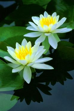 water lilies. 2013 will be the snake water's year on lunar calendar. Let's celebrate! And hey, there are many free quotes on http://onlymyquotes.worpress.com: Waterlily, Funny Things, Beautiful Water, Tropical Flower, Lotus Flowers, Water Lily, Wa