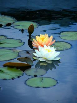 Water lilies - my favourite ( well, one of my many :): Beautiful Flower, Nature, Lotus Flowers, Water Lilly, Waterlilies, Water Lily, Garden, Water Lilies