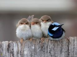 We all have basic needs, warmth is more important than color, photo by Peter Pevy/National Geographic: Animals, Nature, Birdie, Beautiful Birds, Things, Angry Birds, Photo, Fairy Wren