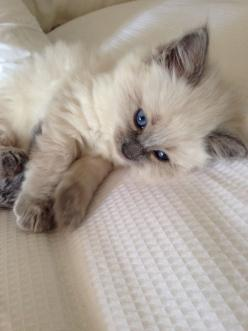 We are conveniently located and ready to serve you and your pets. Call between 8am and 9:30am for a guaranteed same day appointment!* or visit for more details: http://tricityvet.com/: Ragdoll Cat, Kitty Cats, Blue Eyes, Kitty Kitty, Box, Baby, Animal