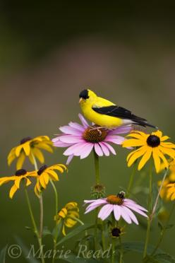 We get these all the time in the garden, usually perched on the daisy stems - they're so fun to watch!: Animals, Purple Coneflower, Nature Birds, Beautiful Birds, Flowers, Birds Nature, Goldfinch
