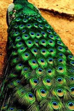 We had peacocks growing up and to this day they are one of my favorite things.  They are so gorgeous and elegant.: Peacock Tail, Peacock Feathers, Peacocks, Color, Green, Animal, Beautiful Peacock