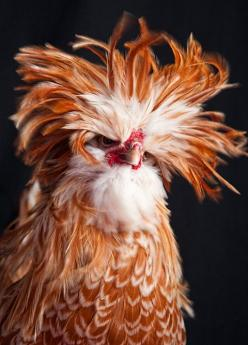 "We have a rooster like this named David Crowie. He has a lovely ""singing"" voice, and is very friendly.: Fancy Chicken, Animals, Bad Hair, Polish Chicken, Birds"