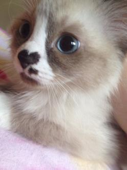 wears her heart on her face.: Kitty Cats, Animals, Sweet, So Cute, Pet, Kittens, Heart Nose, Cat Lady