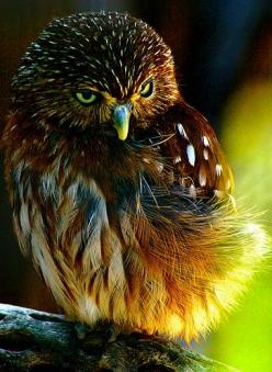 Weblyest - Color Me Wild (18 Photos): Animals, Nature, Birds Owl, Beautiful Birds, Pygmy Owl, Photo, Owls