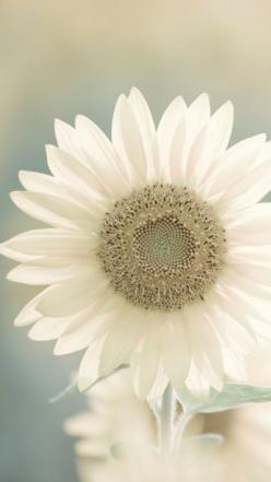 ♡ Welcome All ♡: White Sunflower, White Flower, Color, Cottage, Bloom, Coconut Sunflower, Garden