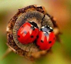 Went to Water Wings & Things at Circle B Bar Ranch (Lakeland, FL) this past Saturday.  They were giving away free Lady Bugs for your garden!  Got mine!  :-): Ladybird, Animals, Nature, Creature, Beautiful, Ladybugs, Ladybird, Insects, Lady Bugs