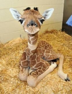What a face! - Did you know that there is just one species, but nine sub-species of giraffe - all native to Africa. No two giraffes have the same spots. And their long necks can reach up but not all the way down!: Babies, So Cute, Baby Giraffes, Pet, Ador