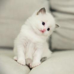 What a super cute white fluff-ball. Ragdoll kitten: Kitty Cats, Animals, Sweet, Pets, Baby, Kittens