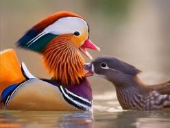 "What beautiful colors!! It's like a painter painted on him. Gorgeous:) Well, I've learned without much difficulty in research, this species is the ""Mandarin Duck."" The Mandarin duck is a medium-size perching duck, closely related to the No"
