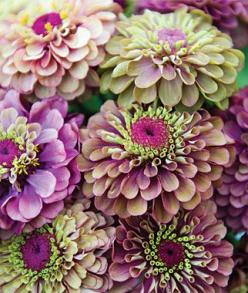 What more can one ask for from one flower with SO MUCH COLOR! - SAVE MONEY - Thinking of green, pink and purple flowers in your wedding bouquet? Sow the seeds of Zinnias (this is Queen Red Lime and grows up to 40 inches), sow seeds right in the garden aft