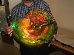 What? Photoshopped? AHHH. EDIT; So I checked, and these guys could get up to 3 ft in diameter. So, uh, not photoshopped.: Geology, Gemstones, Gigantic Opalized, Stuff, Opalized Ammonite, Fossils, Ammonite Fossil, Rocks, Minerals