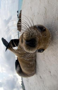 ☆ Whatchu doin?  Ferdinand does this all the time. Maybe he's not trying to be an otter, but a Seal!: Life, Sea Lions, Box, Seal Lion, Cutest Seal, Silly Seal, Baby Seal, Animal