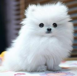 When i get this i will get her a pink diamond collar and name her fluffy and carry her in a purse while i shop away :): Animals, Teacup Pomeranian, Dogs, Pets, Puppys, Puppy, Pomeranians, Pom Pom, Pomeranian Puppy