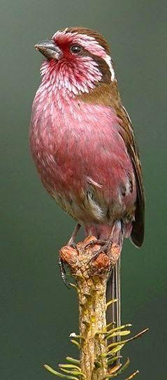 White-browed Rosefinch: White Browed Rosefinch, Rosefinch Carpodacus, Pretty Birds, Animals Birds, Beautiful Birds, Rose Finch, Pink Bird
