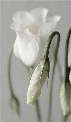 White bud: White Flowers, White Rose, Beautiful Flowers, Garden, Photo, Flower