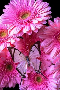 White Butterfly On Pink Gerbera Daisies: Beautiful Butterflies, Pink Flowers, Gerbera Daisies, Gerbera Daisy, Beautiful Flowers, Pink Gerbera, Flowers, White Butterfly