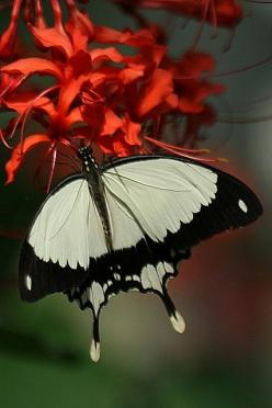 White Butterfly - Red Flower: Beautiful Butterflies, Butterflies Dragonflies, Red Flower, Black And White, Butterflies Mariposas, White Butterfly, Animal