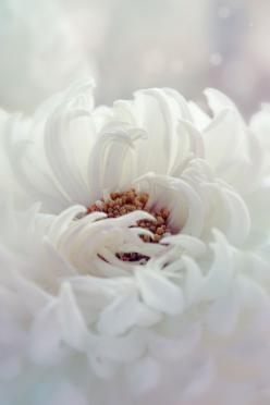 White Dahlia by Kristina Manchenko: White Flowers, Nature, Color, Dahlias, Beautiful Flowers, Kristina Manchenko, Photo, White Dahlia