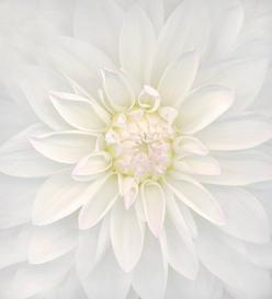 White Dahlia. Imagine as a canvas on the wall with other canvases of white flowers.: White Flowers, Shades, Dahlias, Beautiful, Pure White, Color White, Floral, Photography, White Dahlia