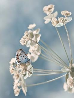 ✿⊱╮: White Flower, Butterfly, Butterflies, Nature, Color, Blue, Beautiful, Flowers, Animal
