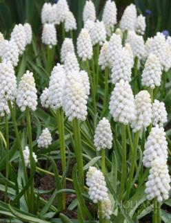 white grape hyacinths, these guys naturalize easily, fragrant , deer resistant: Grape Hyacinth, White Flowers Garden, Green And White Garden, White Grape, Flower Gardens, Garden Flowers, Bulbs, White Hyacinth, Garden Plants