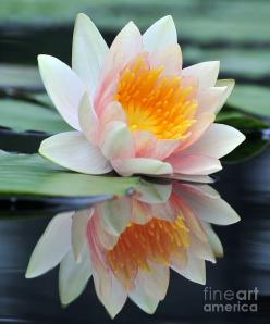 ❤ White Lotus - Water Lily with Reflection Photograph  - Fine Art Print: Lotus Water Lily, Waterlilies, 45 Water, Art Watterlilies, Waterlily Tatoo, Water Lilies, Reflection Photograph, White Lotus Water