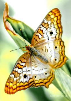 ✯ White Peacock Butterfly. Repinned by An Angel's Touch, LLC, d/b/a WCF Commercial Green Cleaning Co. Denver's Property Cleaning Specialists. http://www.angelsgreencleaning.net/Detailed-Cleaning-Services.html: Beautiful Butterflies, Butterflies Mo