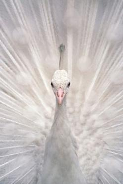 White peacock. Stunning.: Animals, Nature, Peacock Bird, Beauty, White Peacocks, Birds, Color White, Albino Peacock