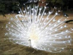 white peacock !! Wouldn't that be gorgeous at any wedding. Might take away from the bride though.: Peacocks, Pavo Real, Amazing Photo, Beautiful Animals, Real Blanco, Amazing Animals, Birds, White Peacock, Albino Peacock
